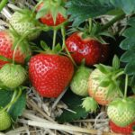 Grow your own Strawberries this summer!