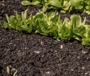 The benefits of raised beds - improved soil conditions